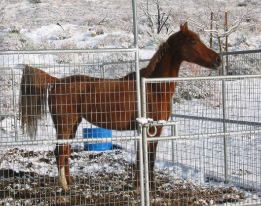 This is a mountain horse.  Do you see a winter blanket on her?