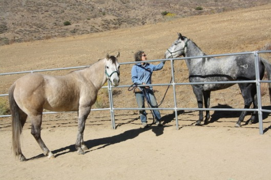 These two American Quarter Horses--Gunsmoke, inside the corral, and Prada, the gray on the right--have the same sire but different dams.
