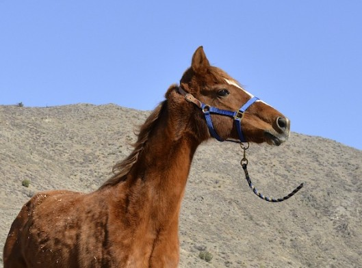 The flimsy leather crownpiece of this halter means the halter will break if your horse gets himself hung up on something.  (Photo by Charles Hood)