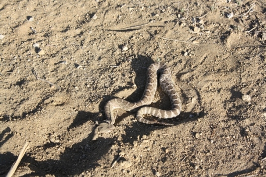 First rattlesnake of the season.  John killed the second rattlesnake of the season two hours later.  (Photo by Joan Fry)