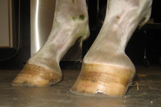 The foot closest to viewer is a club foot.  Compare the heel to the heel of the hoof   on the left.  The angle of the club foot is completely different.  (Photo by www.horseadvice.com)