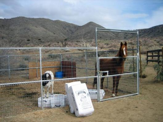 One of Prim's first roommates--a goat named Franklin.  The corral is 24' x 24' and bedded in shavings.  (Photo by Joan Fry)